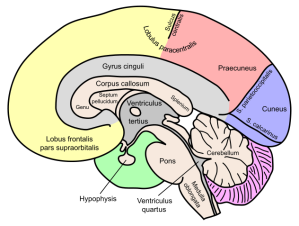 One part of the brain is for reading books.  Another is for watching football.  Another is for writing.  And one last section is for making excuses for when you're not paying attention. (image via Wikimedia)